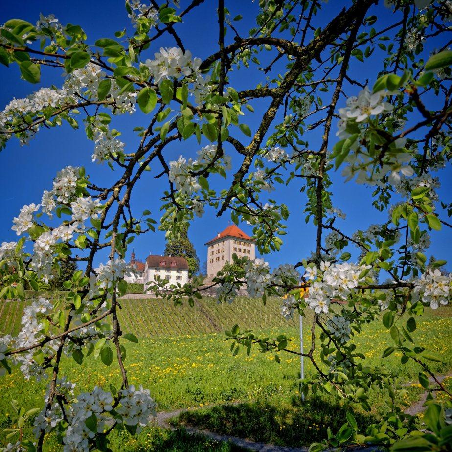 Bluehende Apfelbaeume einer Obstplantage in Gelfingen und Schloss Heidegg in der paradiesischen Bluetezeit.