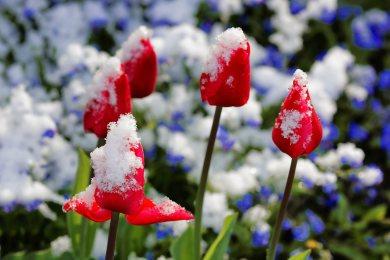 Wintereinbruch mitten im Frühling: Ein paar Tage zuvor noch sommerliche Temperaturen, dann am Wochenende Frost und Schneefall. Impressionen aus unserem verschneiten Garten.