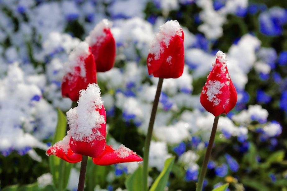 Frühling 2016: SchockgefroreneBlüten…