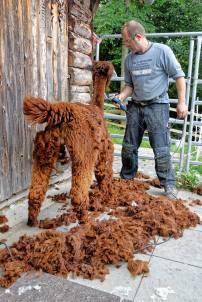 Franz Kottmann befreit die Alpakas Cruzero (braun) und Cayo (weiss) von ihrem dichten Fell.
