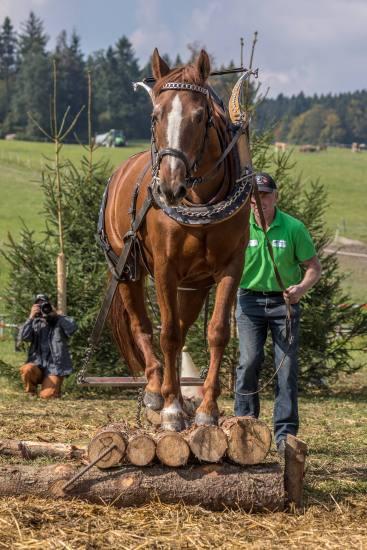 HORBEN-BEINWIL/AG 24. SEPTEMBER 2017 - SERIE SEHTAL.COM BLOG: Impressionen Holzrueckewettkampf auf dem Horben bei Beinwil/Freiamt. Der Wettkampf ist der eigentliche Holzruecke-Arbeit im Wald nachempfungen. Neben Freibergern und Warmbluetern nehmen auch Ponys und einige Kaltblutpferde teil. Organisator: Verein Freunde schwerer Zugpferde Schweiz. Fotos zu Projekt Sehtal (Luzerner Seetal). ths/Photo by: THOMI STUDHALTER, PHOTOS&MORE, www.studhalter.org