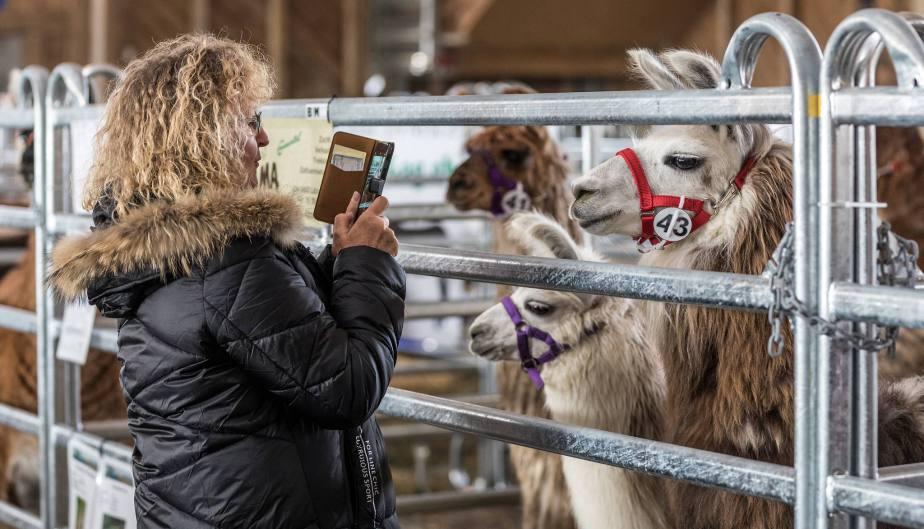 Elitezucht-Schau mit linear beschriebenen Alpakas und Lamas in der Markthalle Langnau im