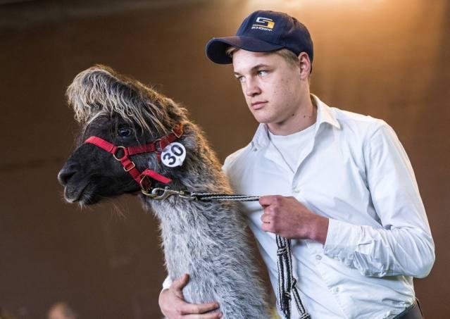 Dream-Team: Wolly-Lama Sangris vom Lama-Hof Zürcher Oberland