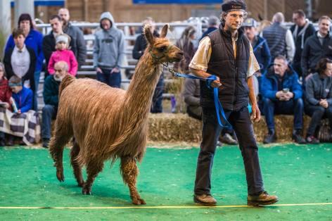 Wunderschönes Suri-Lama an der Elitezucht-Schau mit linear beschriebenen Alpakas und Lamas in der Markthalle Langnau im Emmental.