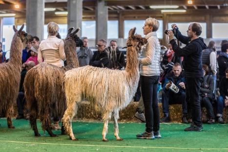 Wunderschöne Suri-Lamas an der Elitezucht-Schau mit linear beschriebenen Alpakas und Lamas in der Markthalle Langnau im Emmental.