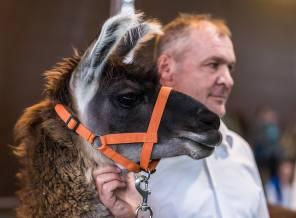 Bitte kraulen: Classic Lama Nevada Naira mit Markus Hächler, Gossau